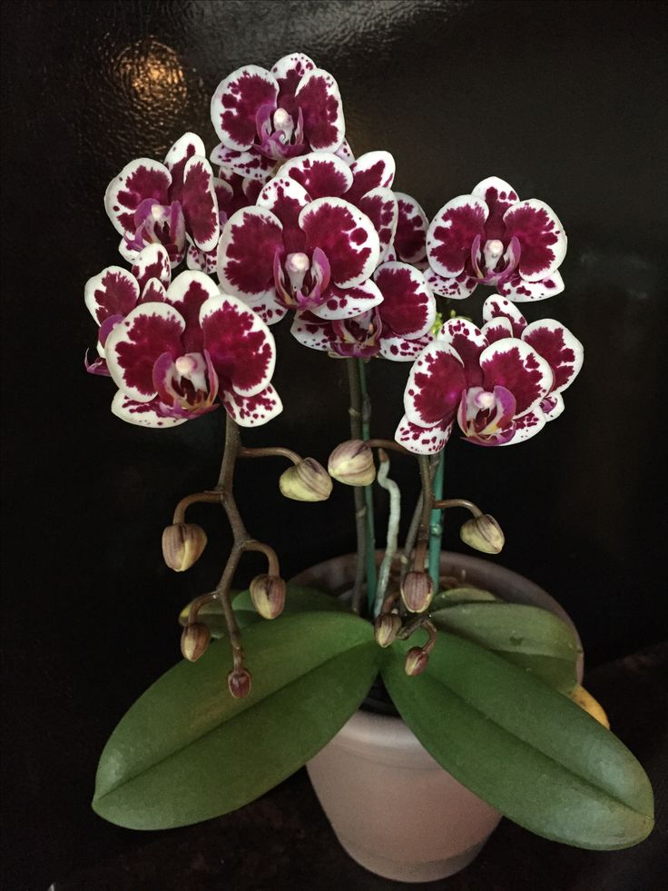 Moth-orchid: Phalaenopsis