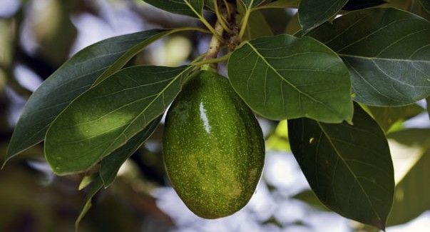 How to grow an avocado tree in Arizona. man, I would love to have a fruiting Avocado tree!