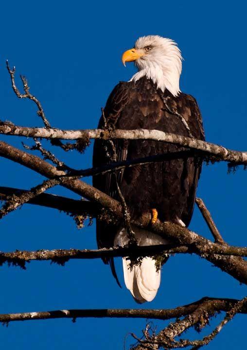 Aquila Calva (Haliaeetus leucocephalus) sopra un ramo #AnimaliVolanti