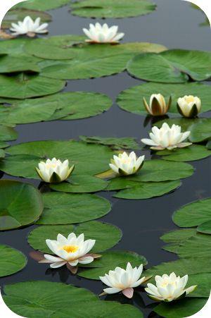 lotus_flowers_water.png 300×451 pixels