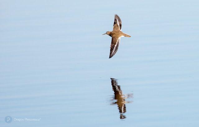 The common sandpiper (Actitis hypoleucos / Fluierar de munte)