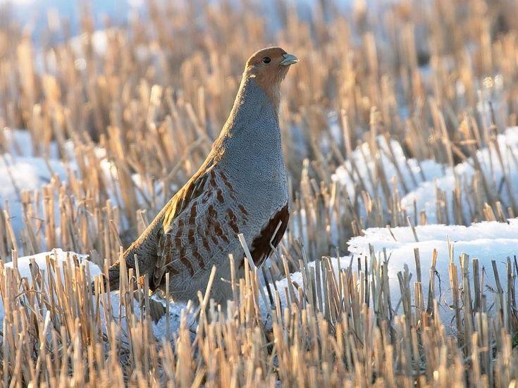 Perdix perdix - Perdrix grise - Grey Partridge - Perdiz cinzenta