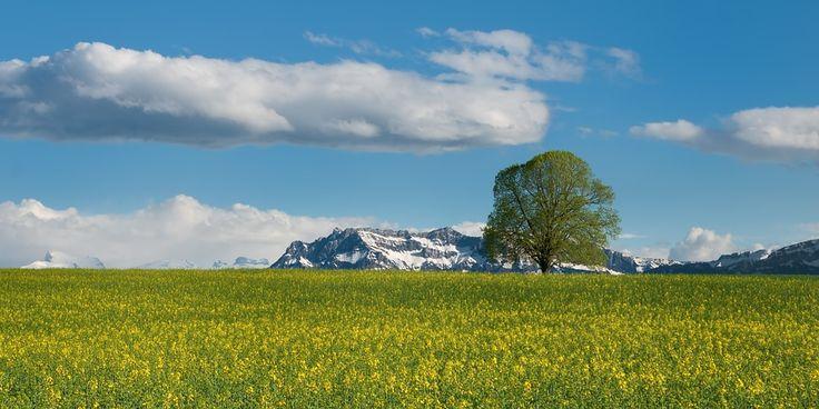 Baum, Feld, Raps, Sommer, Alpen, Schweiz, Pilatus