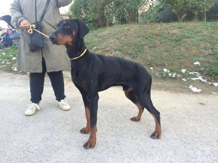 Big black and tan dog
