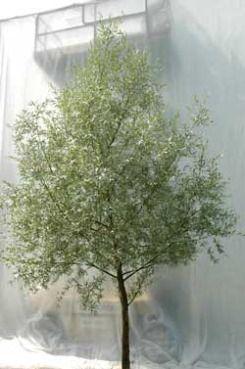 Salix alba Sericea. sølvpil Foto 2005