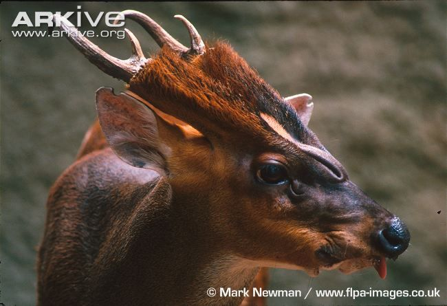 The Southern Red Muntjac. Those antlers are crazy! Found in most parts of Asia, they are unlike most deer. They are, in fact, OMNIVOROUS, periodically eating eggs & even hunting & killing small warm-blooded animals! They are also a TUSKED deer with 1'' long fangs & have striking scent glands around their eyes. Additionally, they are not social animals & do not live in herds--they are solitary & extremely territorial. They also have no set breeding season & can conceive throughout the year.