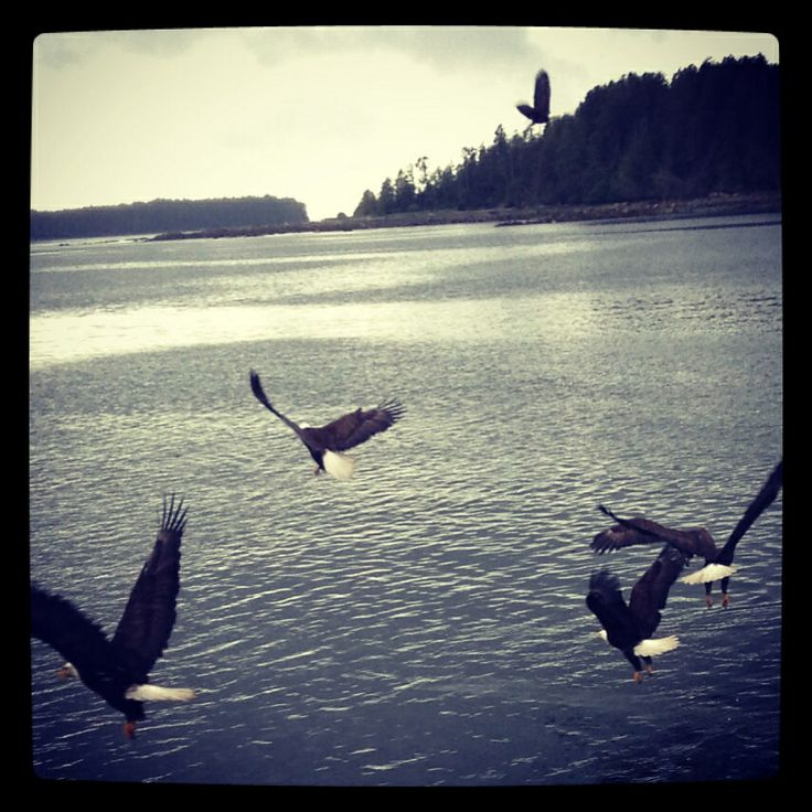 Khutzeymateen, Canada. Amongst the wild eagles.