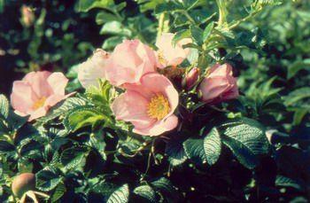 Enkelbloemige roos met spitse knoppen die geopend roze zijn, fijntjes geaderd met crèmekleurige meeldraden. Later in het seizoen verschijnen nkelbloemige roos met spitse knoppen die geopend roze zijn, fijntjes geaderd met crèmekleurige meeldraden. Later in het seizoen verschijnen de bottels van de eerste bloei tegelijk met de latere bloemen. Geurig.
