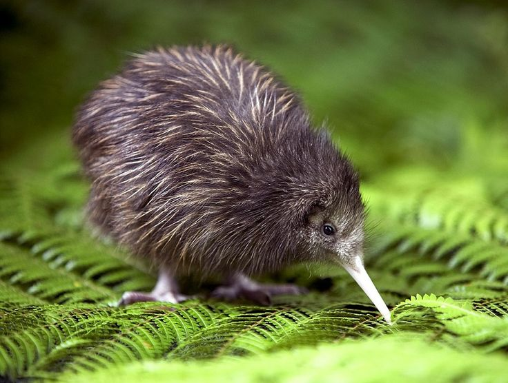 Kiwi - native of New Zealand. Nocturnal and quite small