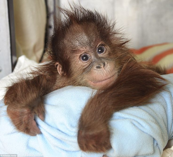 Baby love: Bulu Mata snuggles into his favourite blue blanket at Monkey World where staff hope he will be adopted by another orangutan