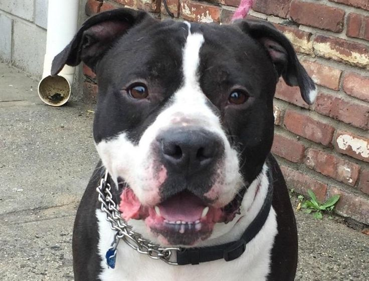 Dexter (18849) is an adoptable American Staffordshire Terrier searching for a forever family near Newark, NJ. Use Petfinder to find adoptable pets in your area.