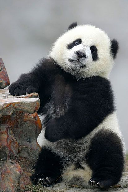 Cute photographs of baby panda bears and a dozen fascinating facts.