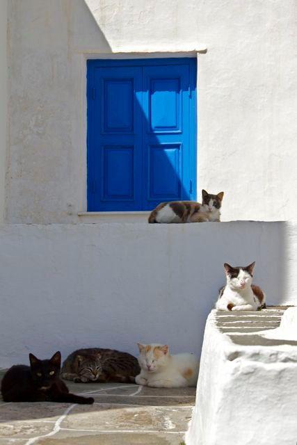 cobalt white door photograph  white walls blue door cats  SANTORINI CATS  Greece Greek Santorini Island cats kitties