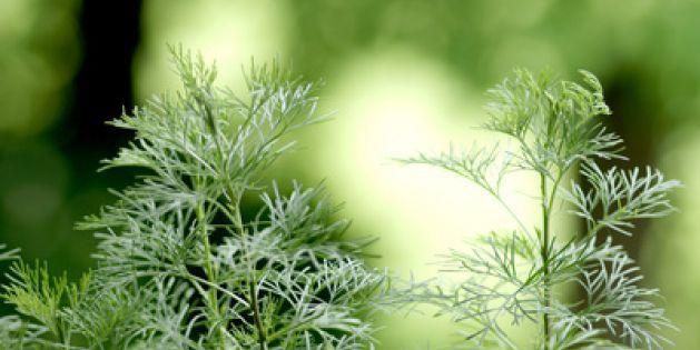 Eberraute: Ihr Tee vertreibt Erkältungen, stärkt die Abwehrkraft