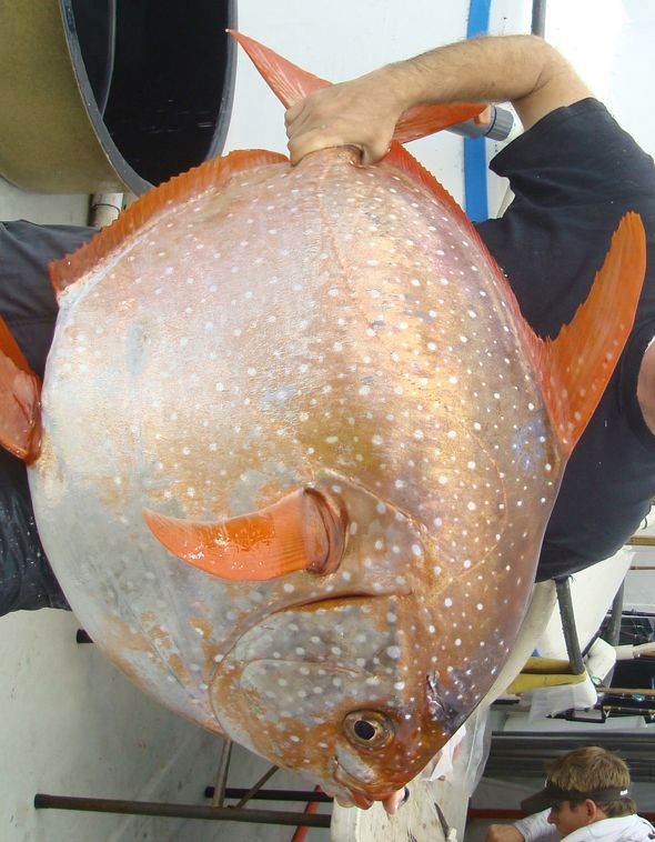 The car-tire-size opah is striking enough thanks to its rotund, silver body. But now, researchers have discovered something surprising about this deep-sea dweller: It's got warm blood. That makes the opah (Lampris guttatus) the first warm-blooded fish ever discovered.