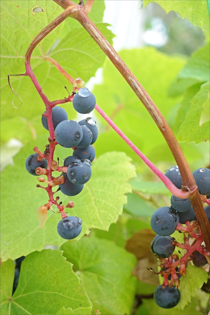 Diy tips for growing grapes for wine or eating growing