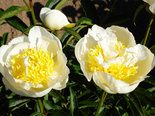 Peonies are long-lived, low-maintenance, deer-resistant flowering perennials that thrive in the Northwest climate.