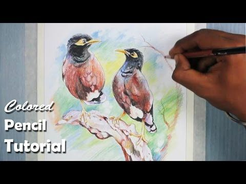 How to Draw Birds with Colored Pencil (common myna/indian myna) - YouTube
