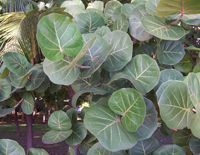 Raisinier - Le raisinier cette plante médicinale tropicale est connue pour son implication dans les médecines traditionnelles antillaises et des Caraïbes, il est un remède des diarrhées et de la dysenterie, ainsi que des coliques. Le raisin de mer autre nom du raisinier traite efficacement les angines et les... http://www.complements-alimentaires.co/wp-content/uploads/2014/10/raisinier-coccoloba-uvifera.jpg - Par Nathalie sur Compléments alimentaires  #Lesplantesdelafam