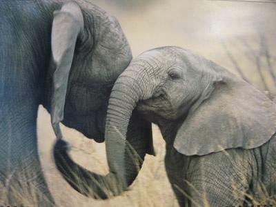 baby elephant cuddling mother