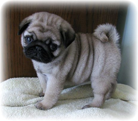 Pug Puppy                                                                                                                                                                                 More
