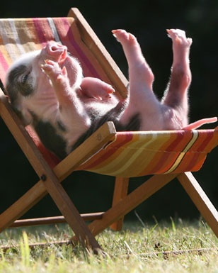 pig in a deck chair