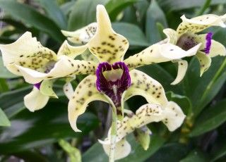 Certified Big Island orchid nursery. Shop online our huge array of orchid genus and varieties. We ship orchids worldwide from Hawaii. Wholesale and retail.