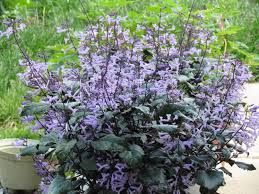 7 Best Duranta Repens Shrubs Images On Pinterest Shrubs