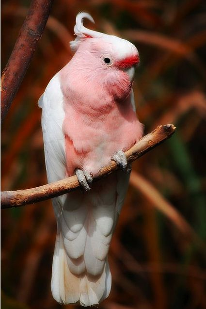 Galah's love Galah's. These are Australian birds. They fly over the sky in bright pink waves of colour and swing like circus clowns on Gum trees.