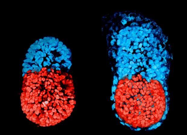 Crean por primera vez un embrión de laboratorio con células madre