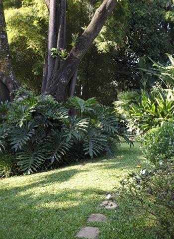GUAIMBÊ (Philodendron bipinnatifidum) O caule vigoroso e as raízes aéreas permitem que o guaimbê atinja de 2 a 3 m de altura.