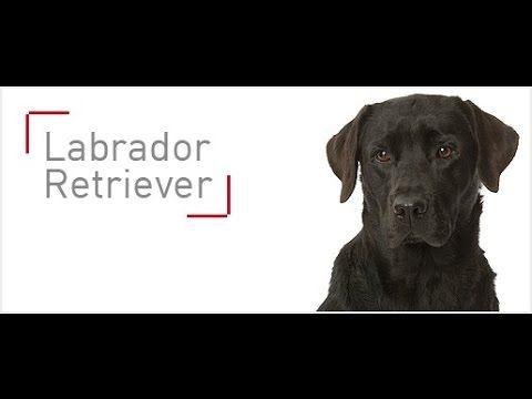 El Labrador Retriever - Pienso recomendado de  de Royal Canin para esta raza de perros - YouTube