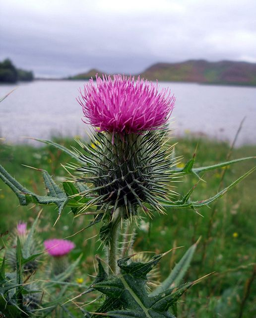 Scottish Thistle....it's very rare and only blooms for four hours at a time, then dies. ... Scottish Thistle at Loch Tarff - South Loch Ness - Inverness, Scotland
