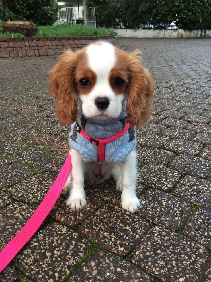 Pin by Dana Meir on Puppy Cavalier king charles, Cute