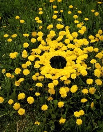 Andy Goldsworthy nature sculpture Dandelions  newly flowered  none as yet turned to seed  undamaged by the wind or rain  a grass verge between dual carriageways  Neat West Bretton, Yorkshire – 28 April, 1987