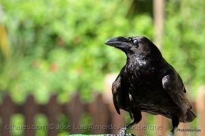 Animais/The crow is black...