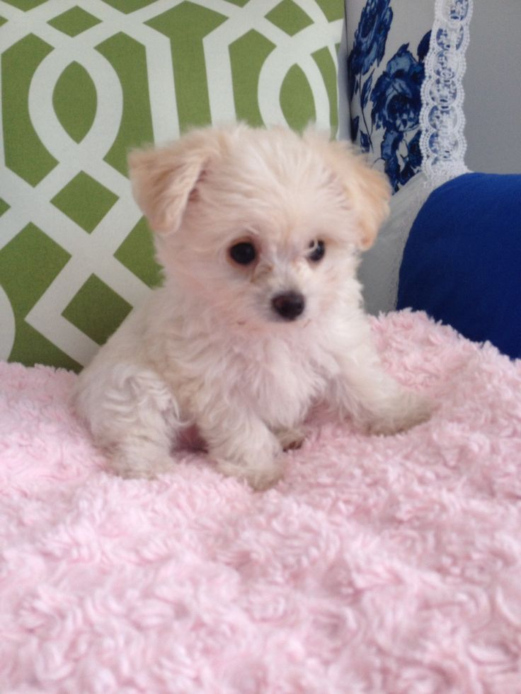 Oliver our cute Maltipoo