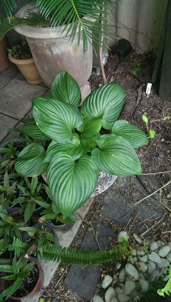 Hosta ventricosa 'Aureomaculata' - fully green leaves by mid-summer
