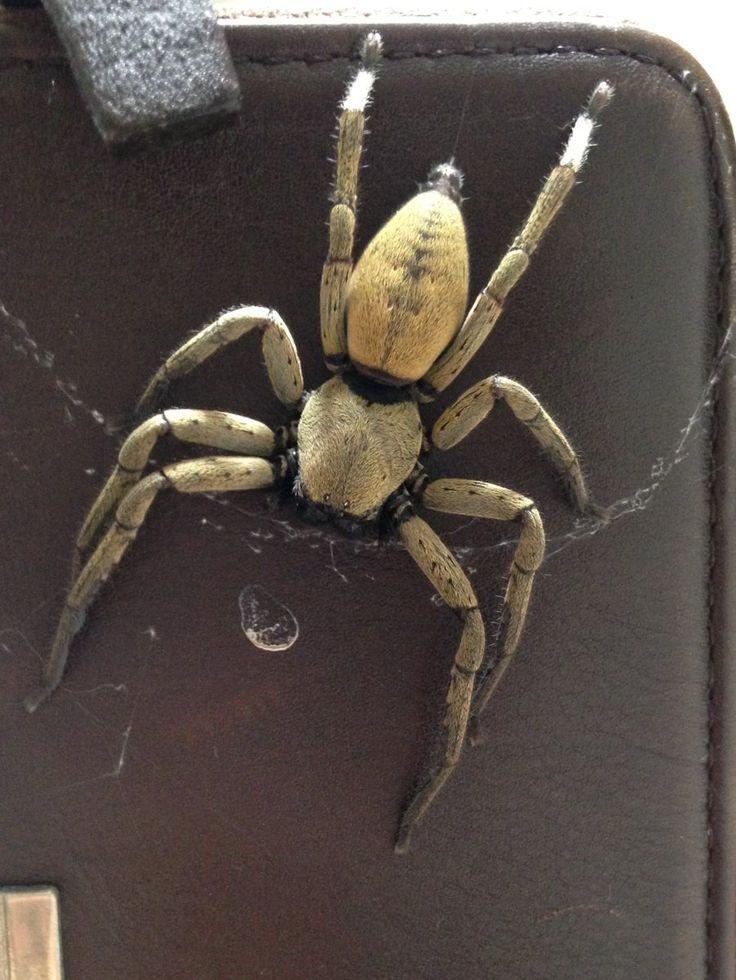 Theicticopis severa (common spider in Okinawa)