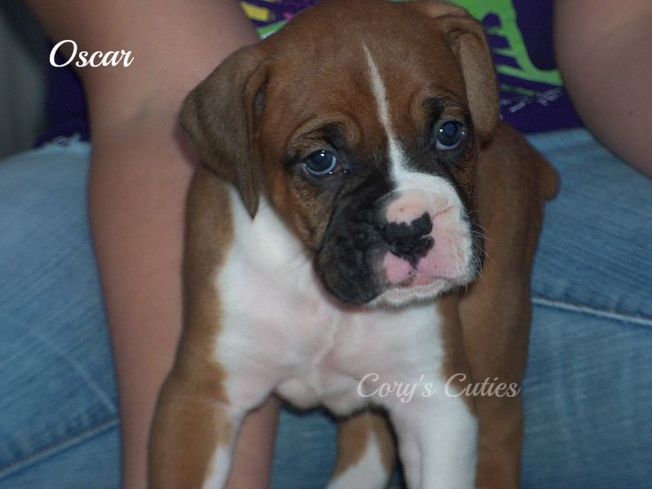 Boxer puppy for sale in ELKLAND, MO. ADN-24703 on PuppyFinder.com Gender: Male. Age: 4 Weeks Old