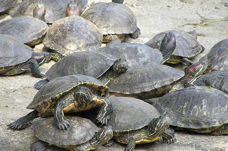 Red-Eared Slider Turtle Facts, Habitat, Diet, Pet Care, Pictures