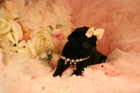 Pug Puppy For Sale #pug #puppy #dog #forsale #sale