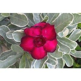 Rosa del Desierto 'abigarrado rojo doble' (Adenium obesum híbrido)