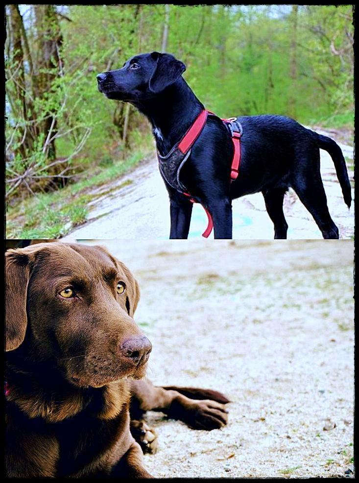 Labrador Puppies Vancouver Wa Get It Now Labradorgardenstatue Labradorquebec Labradorage Labrador Retriever Labrador Retriever Dog