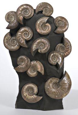 Fossil Ammonites - Quenstedtoceras