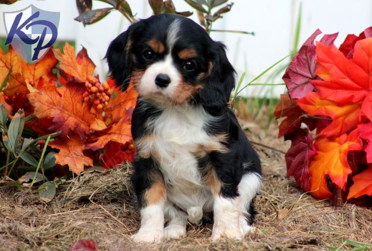 Princess – Cavalier King Charles Spaniel Puppies for Sale in PA | Keystone Puppies