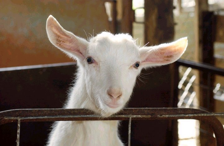 A goat from Meredith Dairy where they make the tastiest Dill Chevre.