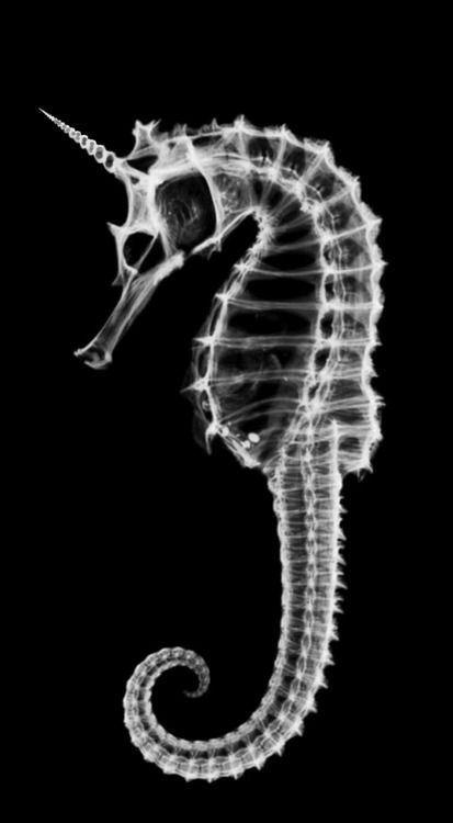 Animals made from seashell x ray photos by jim wehtje via behance seahorse skeleton x ray unicorn