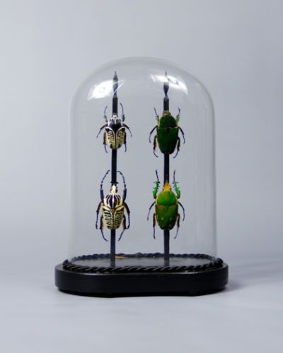 VICTORIAN WORLD BEETLES UNDER OVAL GLASS DOME taxidermy moth antique bug insect
