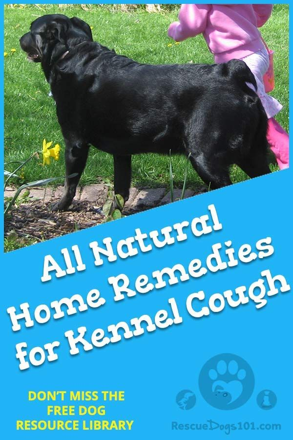 Natural Home Remedies For Kennel Cough Dog Coughing Dogs Health Remedies Dog Sounds